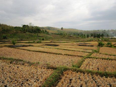 Sawarna's paddy field