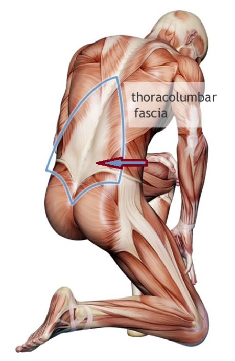 Thoracolumbar fascia - pic source: braceabilitycom